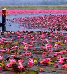 szerklead lotus sea