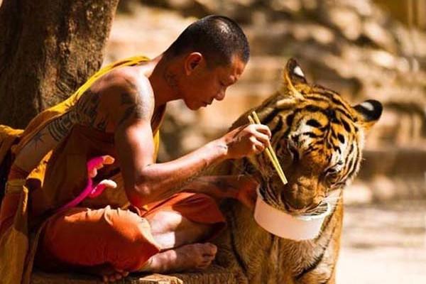 tigristemlom