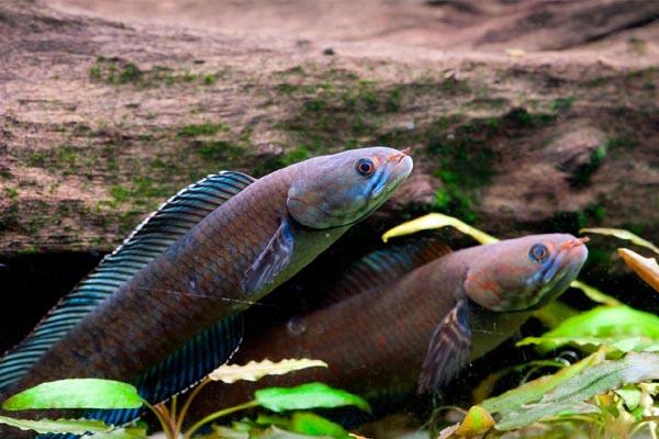 Sétáló halak - wwf.org
