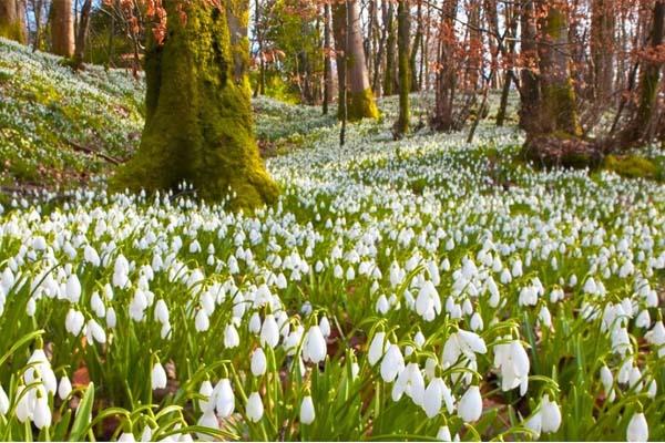 Hóvirágmező Alcsúti Arborétum