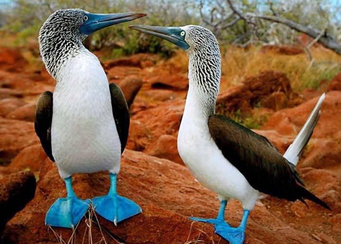Vicces kék lábú madár él a Galápagos szigeteken