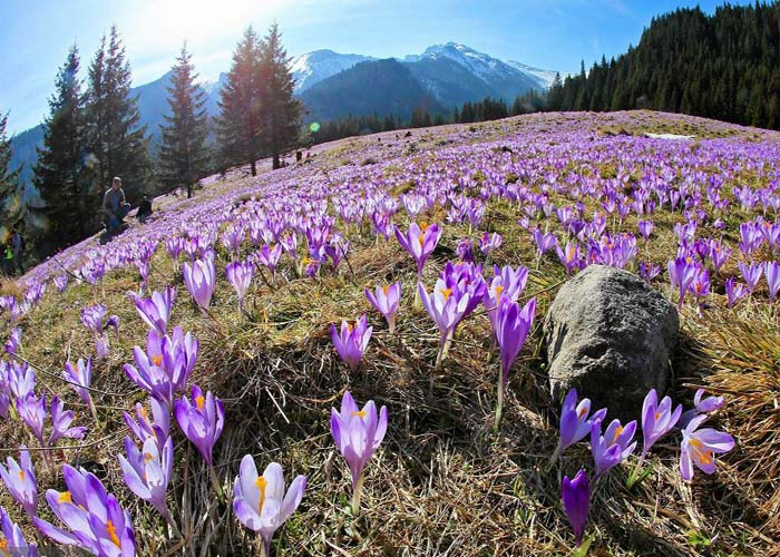 Új turistalátványosság a csodaszép krókusz virágzás a Magas-Tártában