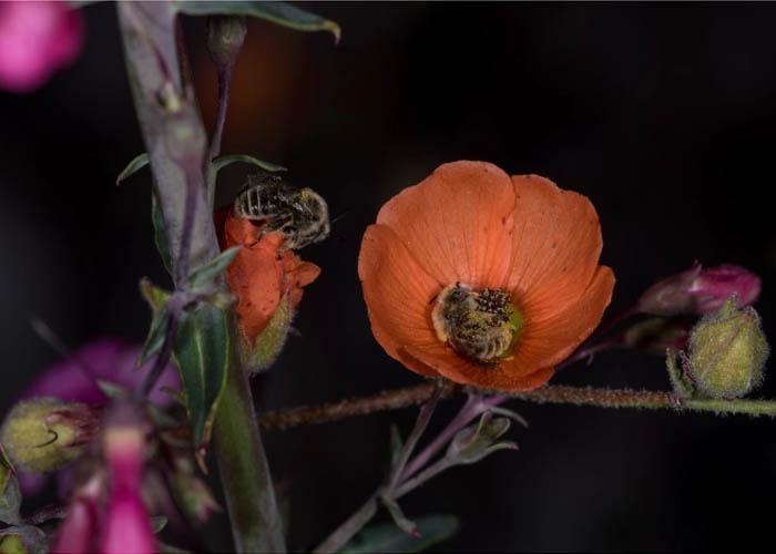 Virágokban alvó méhek