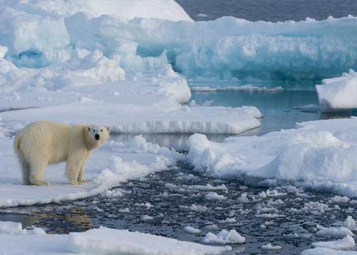 Jegesmedve az Északi-sarkvidéken