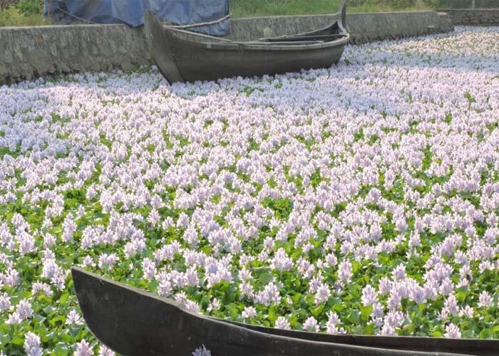 Burjánzó vízijácint virágmező egy tavon
