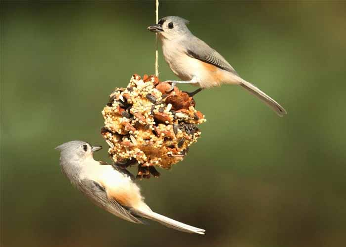 Csináld magad madáretető fenyőtobozból