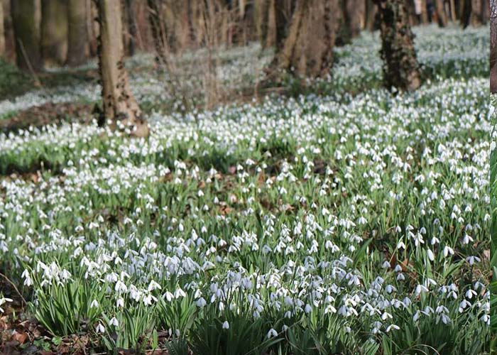 Alcsúti Arborétum hóvirágmező