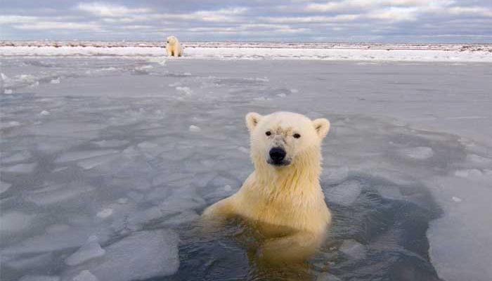 Kanada két hatalmas védett övezetet hozott létre az Északi-tengeren – a jegesmedvék utolsó menedéke lehet…